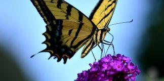 formacja butterfly